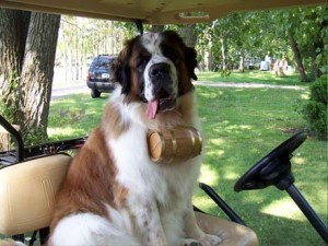 saint bernard in truck bed with whiskey barrel