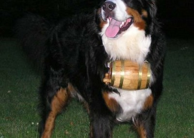 Photos Of Large Breeds With Barrels The Saint Bernard Keg